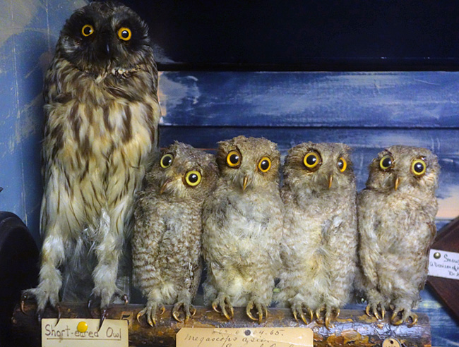 owl650
